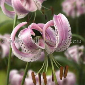 Lilium lankongense