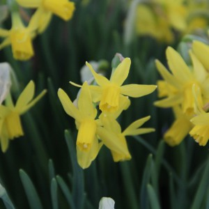 Narcissus 'Heart to Heart'