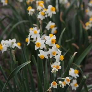Narcissus 'Odoratus'