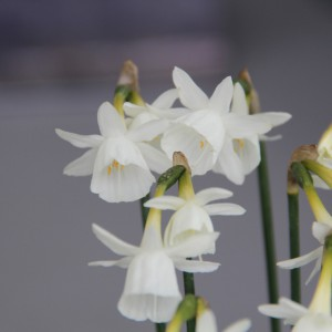 Narcissus 'Jeannine'