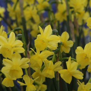 Narcissus 'Little Sunray'