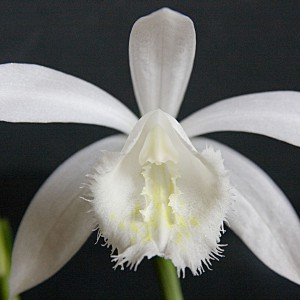 Pleione 'Snow White'