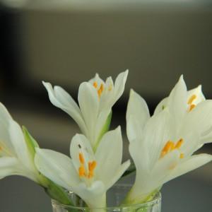 Sternbergia candida