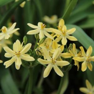Triteleia -nieuw geel-