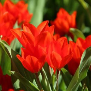 Tulipa praestans...