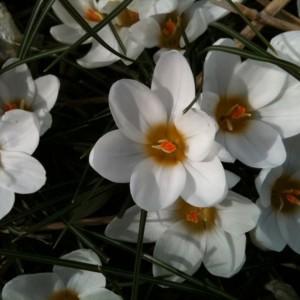 Crocus chrysanthus 'Ard...