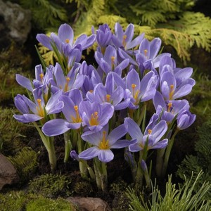 Crocus kosaninii 'April View'